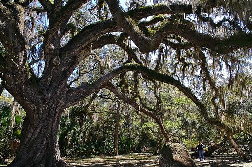 The Fairchild Oak Bulow Creek State Park Florida